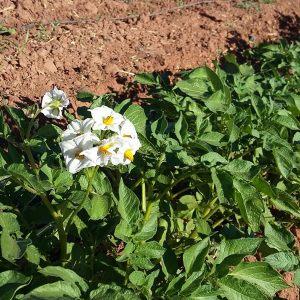 fleurs-de-pomme-de-terre